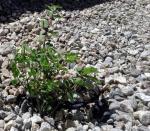 Burning Bush Starting to Grow