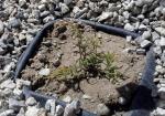 Golden Carpet Juniper Seedling