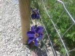 Better Clematis Picture
