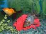 Two Fancy Goldfish