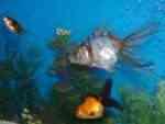 Three Fancy Goldfish
