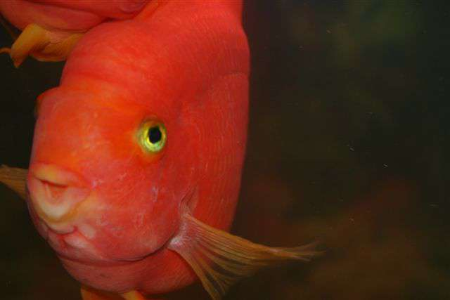Blood parrot cichlid my photos other people 39 s aquariums for Blood parrot fish