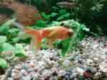 A Celestial Goldfish
