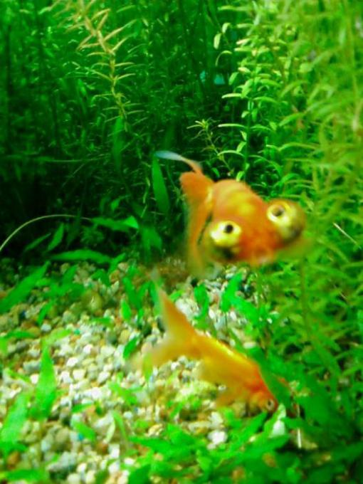 When Does a Goldfish Look Like a Muppet?