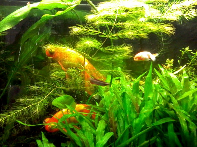 New Ranchu and Old Celestial