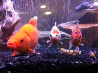 Three Comet Goldfish