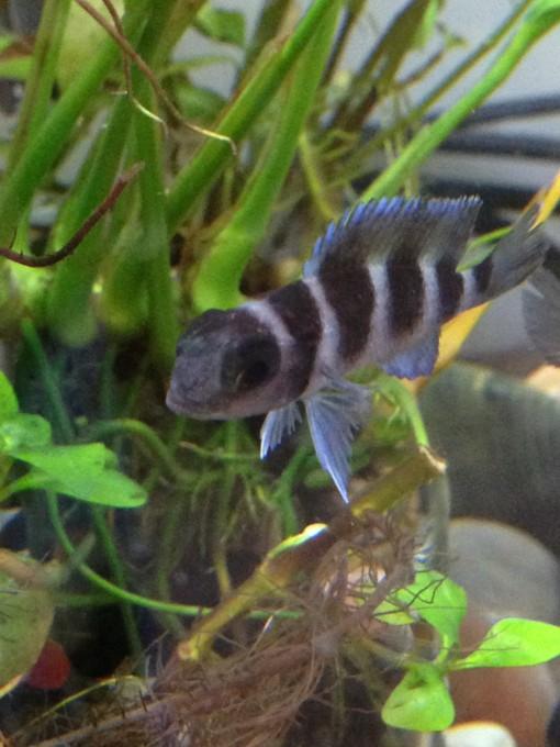 A Juvenile Cichlid