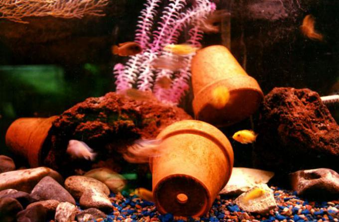 Assorted Jevenile Cichlids