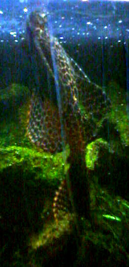 Marble Horned Plecostomus