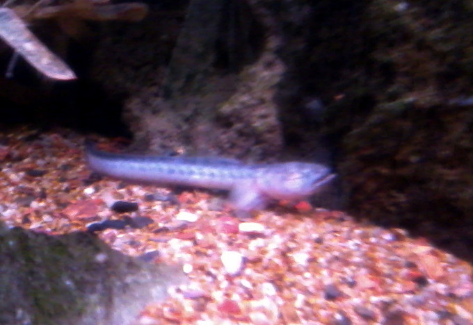 New Dragonfish Out