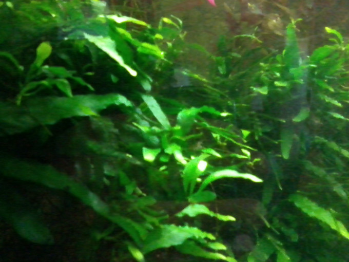 Jave Fern in a 50 Gallon