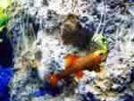 Ruby Shark on Tufa