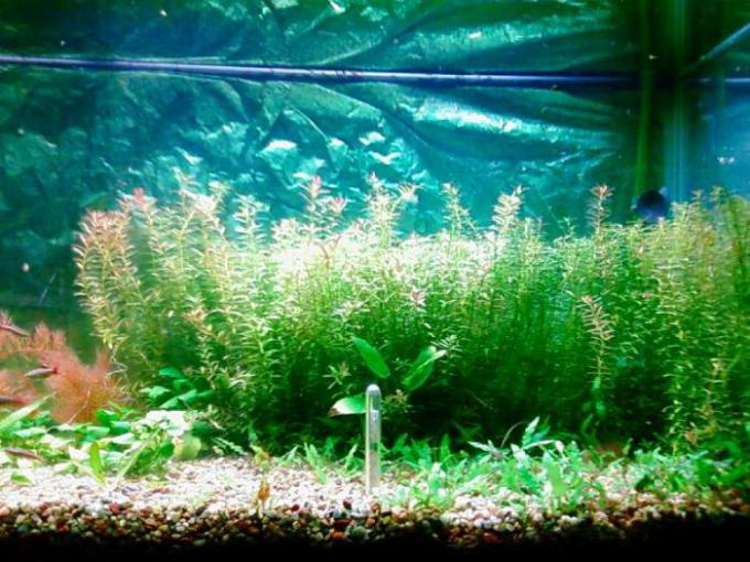 Another Pic of Rotala and Cryptos