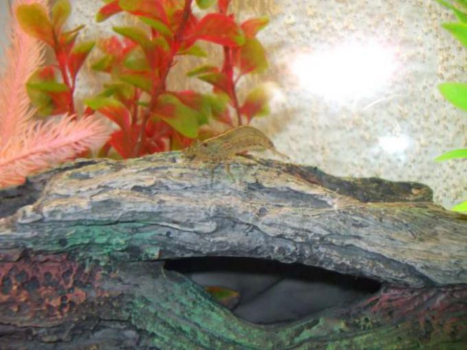 Shrimp on a Fake Log